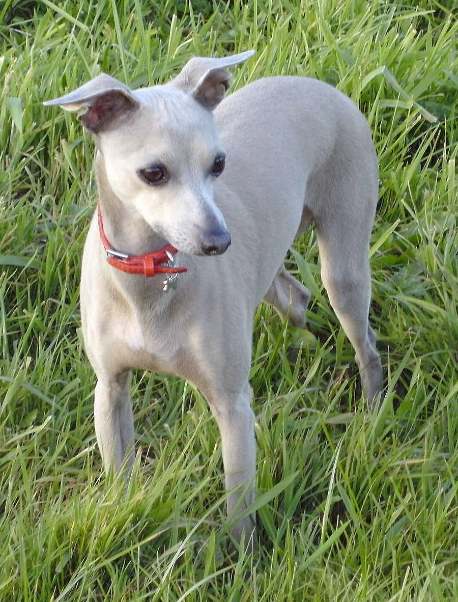 Leaving a Legacy | The Italian Greyhound Rescue Charity