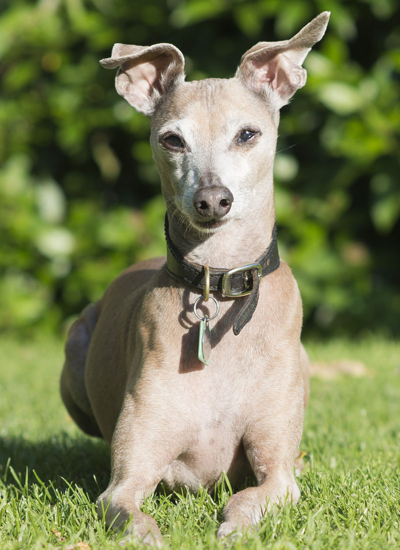 Gallery | The Italian Greyhound Rescue Charity