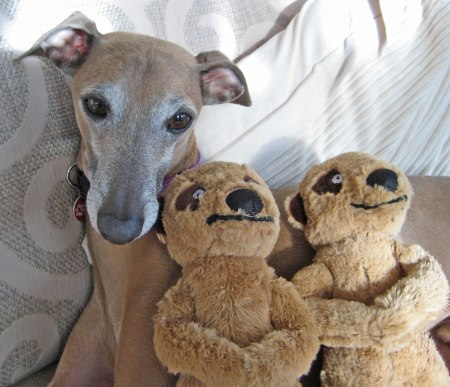 Looking for an IG? | The Italian Greyhound Rescue Charity