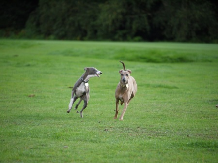 italian-greyhounds-playing