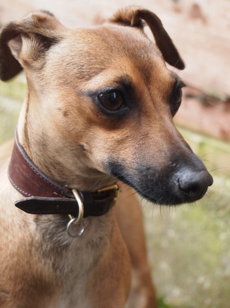 Rescues | The Italian Greyhound Rescue Charity