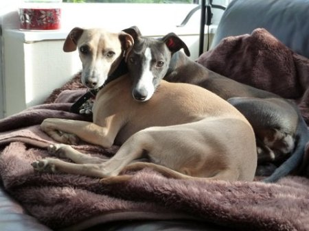 italian-greyhounds-at-home