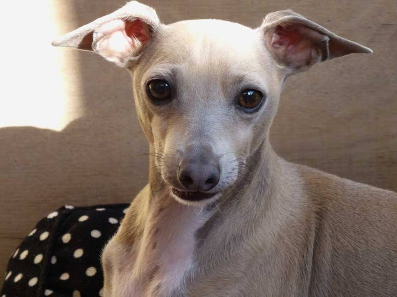 The Italian Greyhound Rescue Charity | Rehoming, rehabilitation and ...